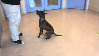 Precious A 1 Year Old American Pit Bull Terrier:boxer Mix Available For Adoption At The Wisconsin Hu