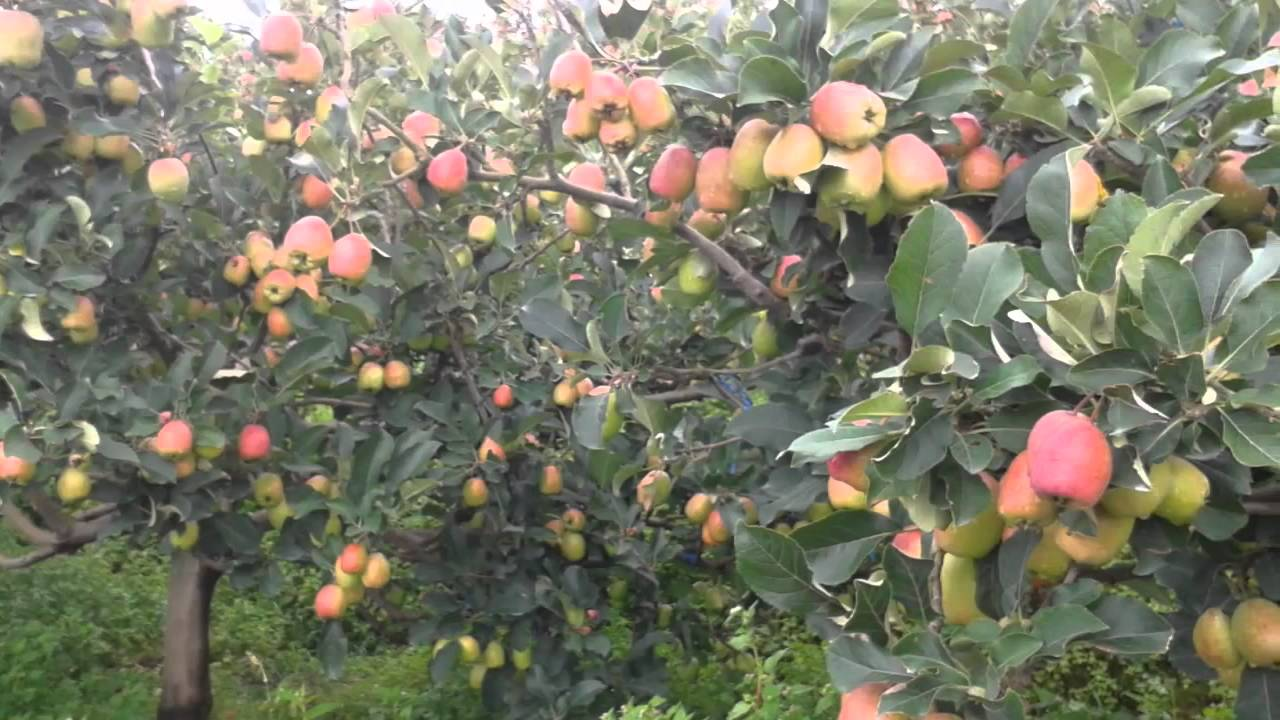 Hasil gambar untuk gambar apel ana