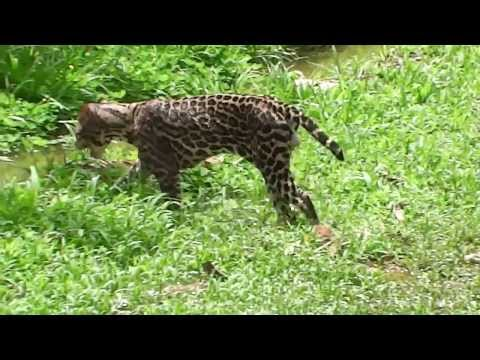 Wild ocelot with machete cuts