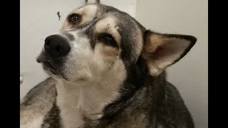 Siberian Husky : 3 Year Stray Siberian Husky  At The Shelter | Adopt A Dog