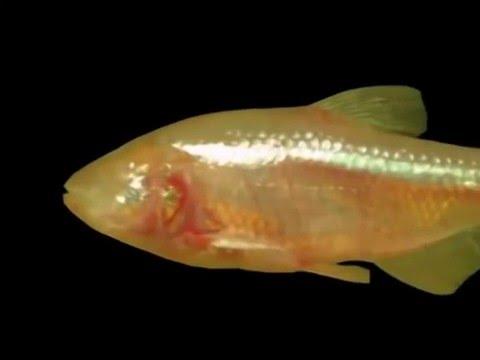 01. Blind Cave Fish  Hydrodynamic Imaging