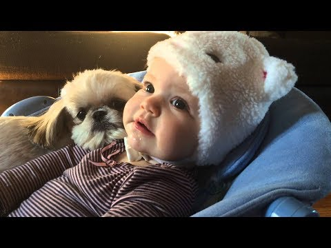 Cute Shih Tzu Dogs and Babies a beautiful Friendship -  Funny and Cute Dog and Baby Videos 2017