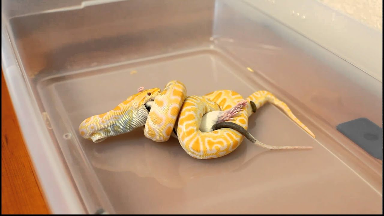 Ball Python Care Sheet & Facts | Pet Ball Pythons | Petco