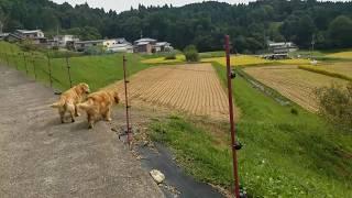 散歩の帰りに冬場運動場として使わせていただいている田んぼの稲刈りに...