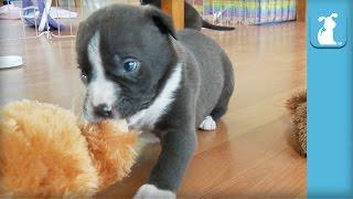 Baby Pitbull Puppy Wants Teddy - Puppy Love