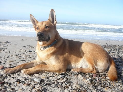 Carolina Dog / Dog Breed