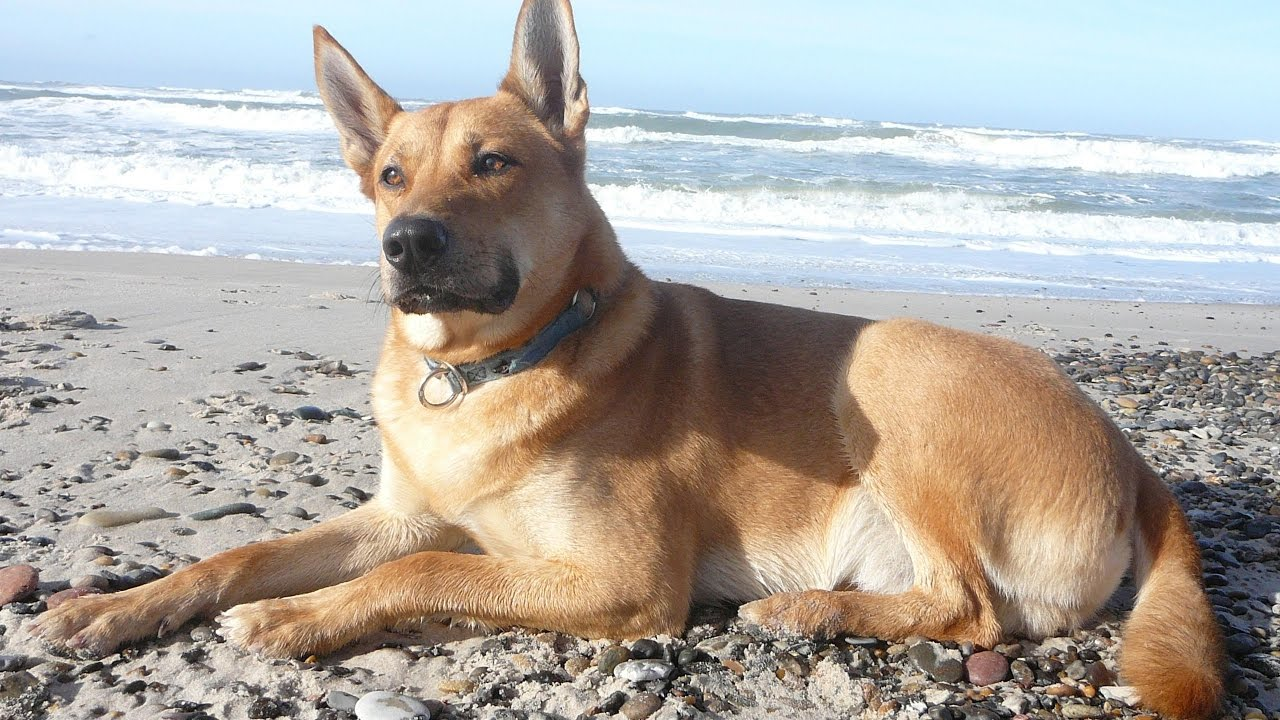 Search And Rescue Dog Breeds Uk