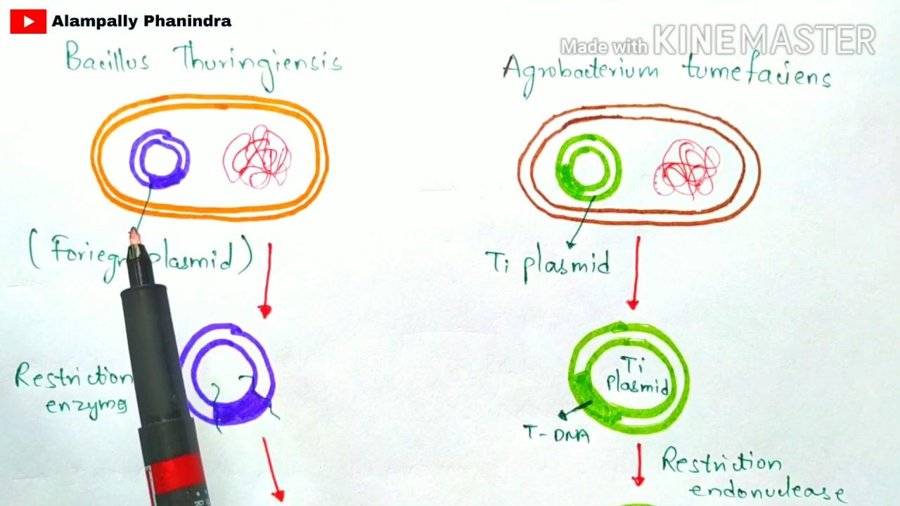 Curs de ecologie si protectia mediului - Toxine bacterienne transgenique bacillus thuringiensis