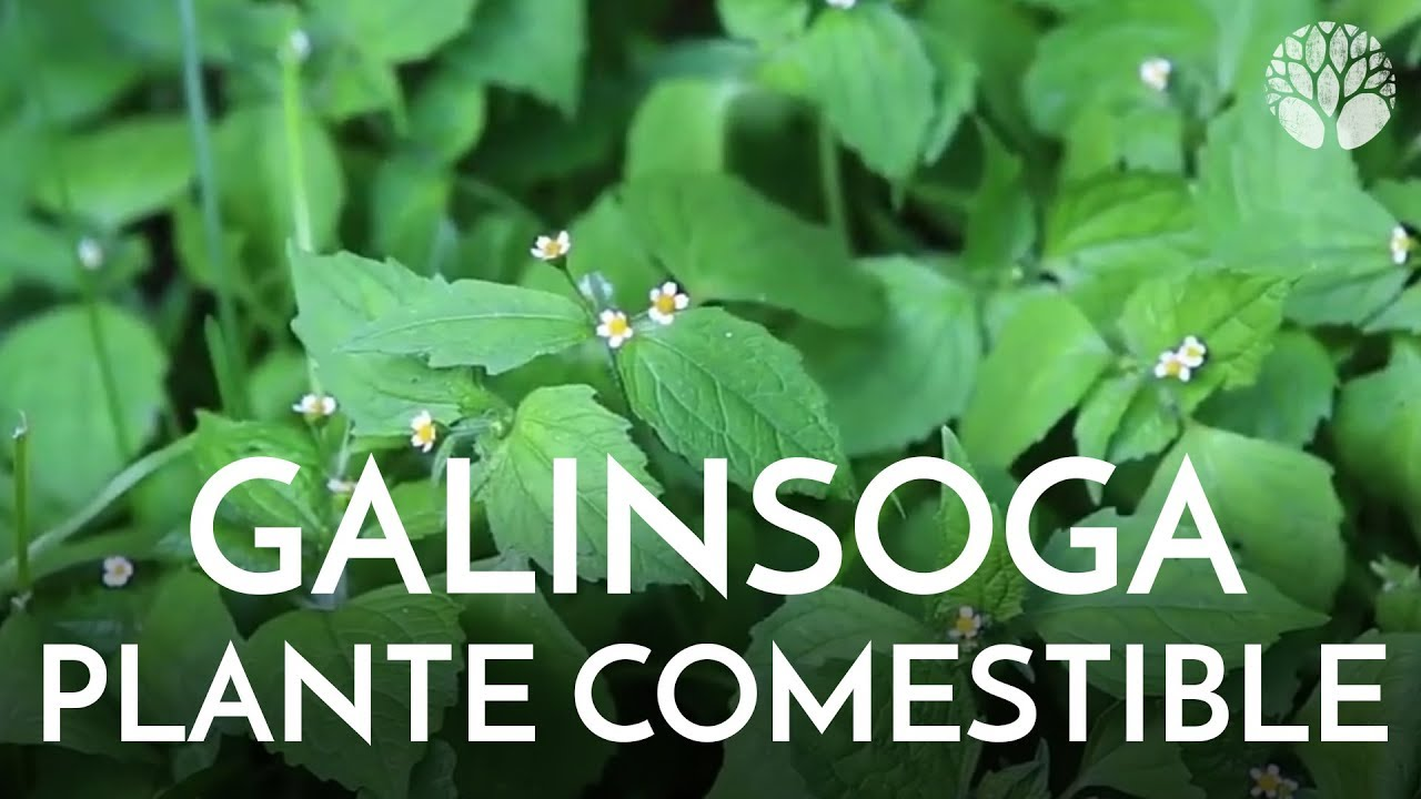 Galinsoga, plante sauvage comestible en France