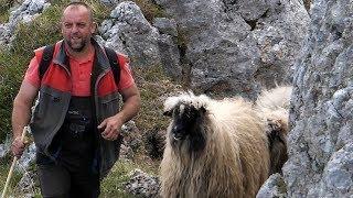 Kako se vodi 500 ovaca u planinu?