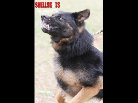 German Shepherd attack dog training - YouTube