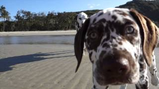 Posy Dalmatian In Cape Tribulation
