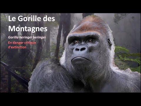 Sehr Le Gorille des Montagnes - YouTube SN96