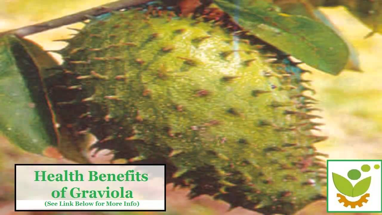 Soursop Graviola For Anti Cancer The Truth About This
