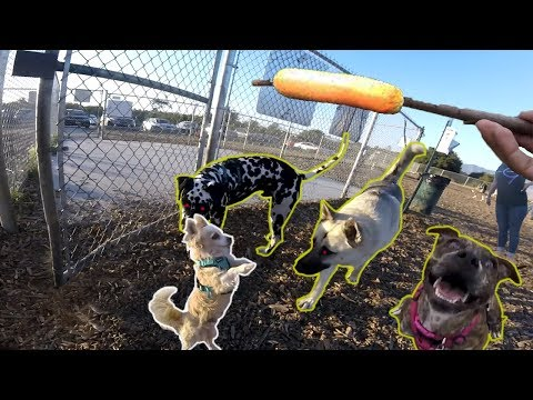 chihuahua-becomes-new-alpha-of-the-dog-park!-(sable-american-terrier,-dalmatian)