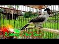 Burung Kutilang Pikat Gacor Memanggil Lawan Di Alam Liar  Mp3 - Mp4 Download