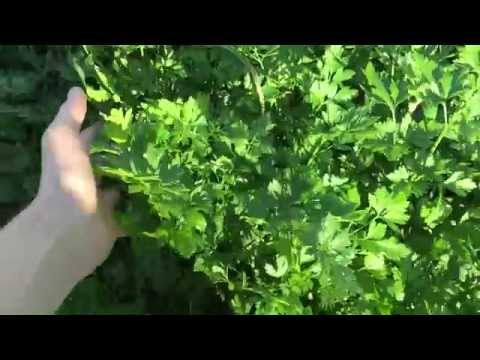 Петрушка, применение петрушки, лечение петрушкой