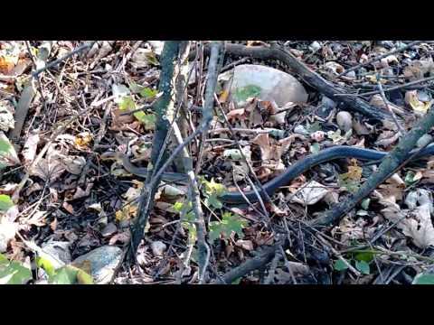 Äskulapnatter - Zamenis longissimus