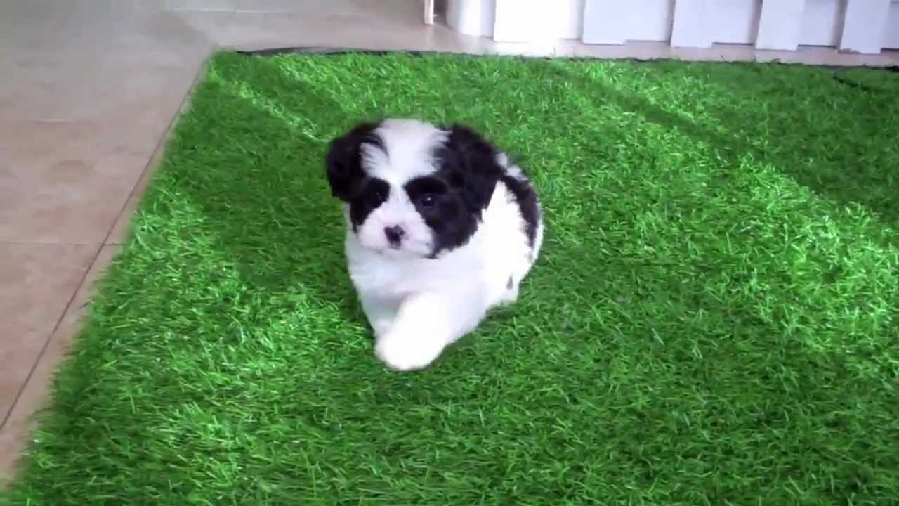 Shih Tzu Poodle Mix Puppies