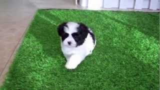 Teddybear Puppies (shihtzu - Maltese Cross) For Sale In San Diego!