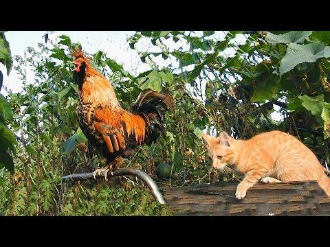 Golden Rooster and Lula Золотой Петушок и Лула Кот да Петух