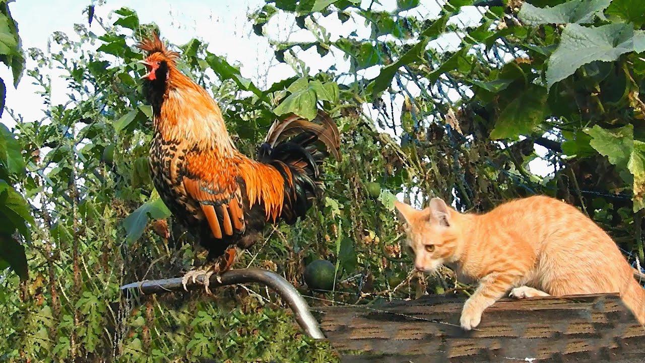Картинки кошки с петухом