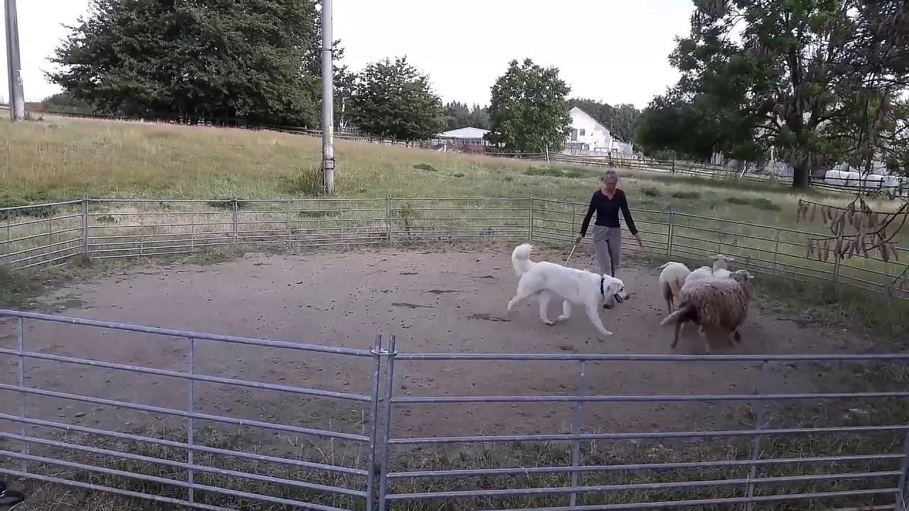 how to train a livestock guardian dog