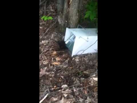 Fisher cat in trap