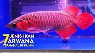 Ikan Termahal Asal INDONESIA Di Akui DUNIA - 7 JENIS IKAN ARWANA TERMAHAL DI DUNIA