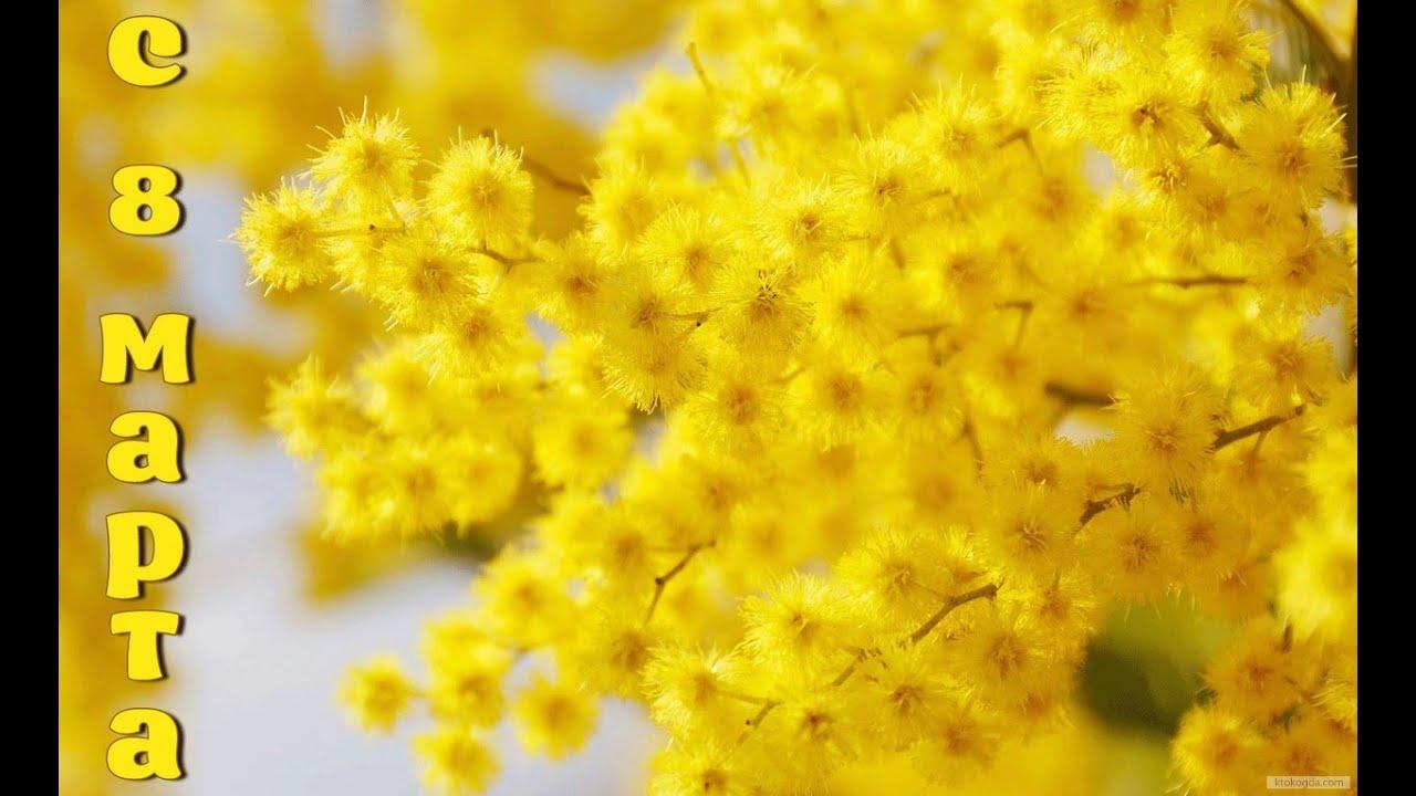 мимозы фото цветы
