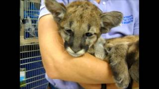 What does a Florida Panther Kitten Sound Like? Endangered Panther Kitten Vocalizing