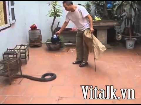 Kinh hoàng ông lão bắt và giết rắn hổ mang trong sân nhà