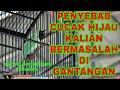 Penyebab Cucak Hijau Bermasalah Di Gantangan  Mp3 - Mp4 Download
