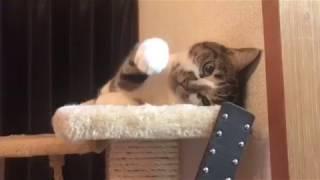 気だるげに飼い主とあそぶ猫