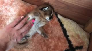 Каракал атакует. Смешной котёнок. Caracal attack. Funny kitten.