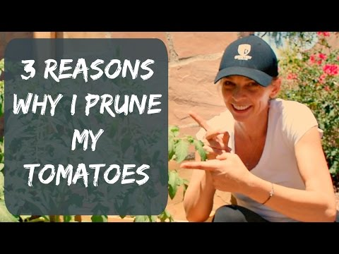 How To Prune Tomato Plants For Maximum Yield & Bigger Tomatoes - Organic Vegetable Garden in Arizona