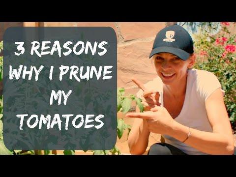 How To Prune Tomato Plants For Maximum Yield & Bigger Tomatoes - Organic Vegetable Garden in Arizona