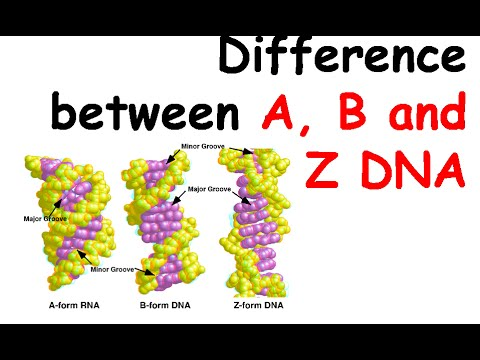 Difference between a b and z dna youtube difference between a b and z dna ccuart Choice Image
