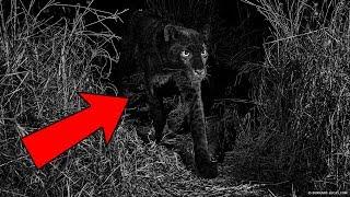 Впервые за столетие появилась фотография черного леопарда