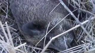 Охота на кабана в Волгоградской области видео