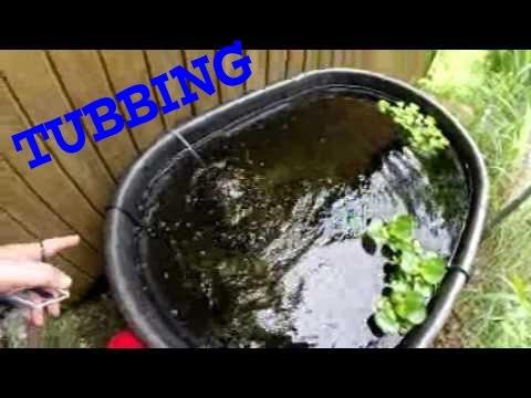 Rummynose Tetras In A Tub - Summer Tubbing 2017