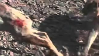 Cougar Hunting Bighorn - Wild America