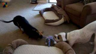 Tug Of War Rottweiler Mix (piper) And White Boxer (baxter)