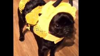 Lilly The Pug Wearing Her Halloween Costume
