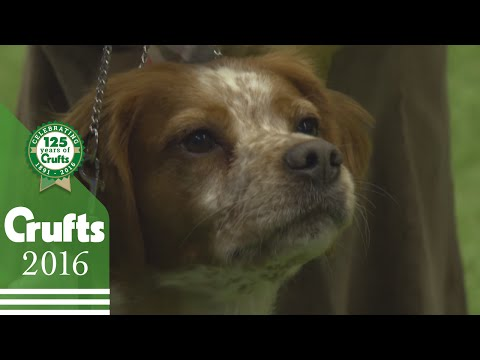 Exclusive Behind The Scenes with the Brittany Best of Breed Winner | Crufts 2016