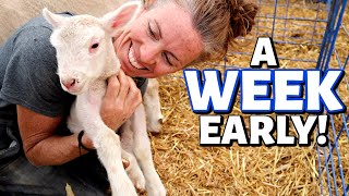 I'M NOT READY YET!!  (the problem with premature lambs): Vlog 307