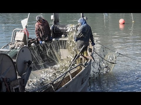 Fisherman Catching Tons of Herring in SF Bay