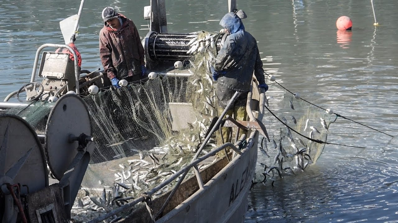 Fisherman catching tons of herring in sf bay youtube for Fish catching net