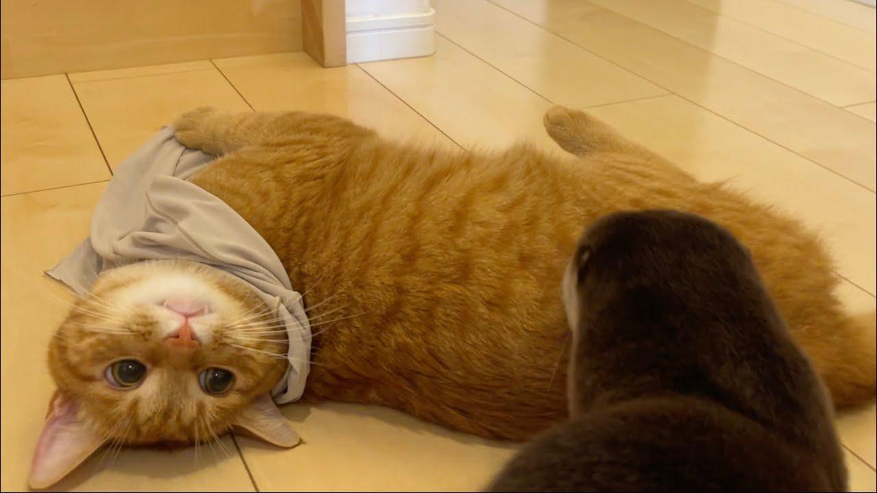 飼い主の服を着始めた猫 Cat dressed