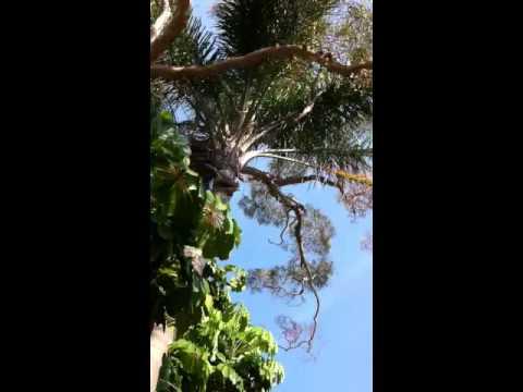 Bird calls in Sydney Australia